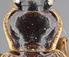http://mczbase.mcz.harvard.edu/specimen_images/entomology/large/MCZ-ENT00028602_Notagonum_aitape_sansapor_pnd.jpg
