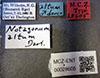 http://mczbase.mcz.harvard.edu/specimen_images/entomology/large/MCZ-ENT00028605_Notagonum_altum_lbs.jpg