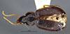 http://mczbase.mcz.harvard.edu/specimen_images/entomology/large/MCZ-ENT00028665_Gastragonum_subrotundum_had.jpg