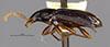 http://mczbase.mcz.harvard.edu/specimen_images/entomology/large/MCZ-ENT00028665_Gastragonum_subrotundum_hal.jpg