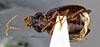 http://mczbase.mcz.harvard.edu/specimen_images/entomology/large/MCZ-ENT00028665_Gastragonum_subrotundum_hav.jpg