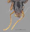 http://mczbase.mcz.harvard.edu/specimen_images/entomology/large/MCZ-ENT00028665_Gastragonum_subrotundum_hef.jpg