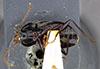 http://mczbase.mcz.harvard.edu/specimen_images/entomology/large/MCZ-ENT00028685_Fortagonum_fortellum_hav.jpg