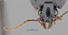 http://mczbase.mcz.harvard.edu/specimen_images/entomology/large/MCZ-ENT00028685_Fortagonum_fortellum_hef.jpg