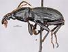 http://mczbase.mcz.harvard.edu/specimen_images/entomology/large/MCZ-ENT00028790_Pelecium_longicolle_hal.jpg