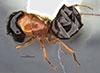 http://mczbase.mcz.harvard.edu/specimen_images/entomology/large/MCZ-ENT00028843_Camponotus_armstrongi_had.jpg