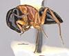 http://mczbase.mcz.harvard.edu/specimen_images/entomology/large/MCZ-ENT00028843_Camponotus_armstrongi_hal.jpg
