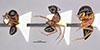 http://mczbase.mcz.harvard.edu/specimen_images/entomology/large/MCZ-ENT00028843_Camponotus_armstrongi_hala.jpg