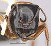 http://mczbase.mcz.harvard.edu/specimen_images/entomology/large/MCZ-ENT00028843_Camponotus_armstrongi_hef.jpg