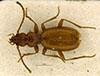 http://mczbase.mcz.harvard.edu/specimen_images/entomology/large/MCZ-ENT00028855_Anophthalmus_gobani_obirensis_had.jpg