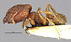 http://mczbase.mcz.harvard.edu/specimen_images/entomology/large/MCZ-ENT00028878_Pheidole_plagiaria_palawanica_hal.jpg