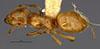 http://mczbase.mcz.harvard.edu/specimen_images/entomology/large/MCZ-ENT00028993_Lasius_Acanthomyops_clavigeroides_had.jpg