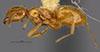 http://mczbase.mcz.harvard.edu/specimen_images/entomology/large/MCZ-ENT00028993_Lasius_Acanthomyops_clavigeroides_hal.jpg