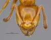 http://mczbase.mcz.harvard.edu/specimen_images/entomology/large/MCZ-ENT00028993_Lasius_Acanthomyops_clavigeroides_hef.jpg