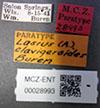 http://mczbase.mcz.harvard.edu/specimen_images/entomology/large/MCZ-ENT00028993_Lasius_Acanthomyops_clavigeroides_lbs.jpg