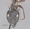 http://mczbase.mcz.harvard.edu/specimen_images/entomology/large/MCZ-ENT00029242_Camponotus_foleyi_grasi_hefa.jpg