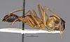 http://mczbase.mcz.harvard.edu/specimen_images/entomology/large/MCZ-ENT00029243_Camponotus_foleyi_ajjer_hala.jpg