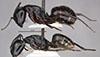 http://mczbase.mcz.harvard.edu/specimen_images/entomology/large/MCZ-ENT00029334_Camponotus_quercicola_hal.jpg