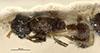 http://mczbase.mcz.harvard.edu/specimen_images/entomology/large/MCZ-ENT00029437_Typhlomyrmex_richardsi_had.jpg