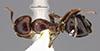 http://mczbase.mcz.harvard.edu/specimen_images/entomology/large/MCZ-ENT00029495_Camponotus_kosswigi_had.jpg