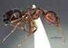 http://mczbase.mcz.harvard.edu/specimen_images/entomology/large/MCZ-ENT00029495_Camponotus_kosswigi_hal.jpg