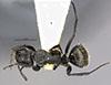 http://mczbase.mcz.harvard.edu/specimen_images/entomology/large/MCZ-ENT00029519_Camponotus_lamborni_had.jpg