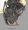 http://mczbase.mcz.harvard.edu/specimen_images/entomology/large/MCZ-ENT00029519_Camponotus_lamborni_hef.jpg