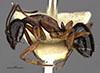 http://mczbase.mcz.harvard.edu/specimen_images/entomology/large/MCZ-ENT00029520_Camponotus_ligea_hal.jpg