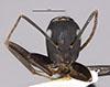 http://mczbase.mcz.harvard.edu/specimen_images/entomology/large/MCZ-ENT00029521_Camponotus_flavosetosus_hef.jpg