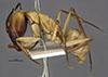 http://mczbase.mcz.harvard.edu/specimen_images/entomology/large/MCZ-ENT00029522_Camponotus_gerberti_hal.jpg