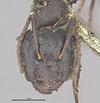 http://mczbase.mcz.harvard.edu/specimen_images/entomology/large/MCZ-ENT00029539_Formica_caryae_hefa.jpg