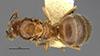 http://mczbase.mcz.harvard.edu/specimen_images/entomology/large/MCZ-ENT00029581_Prolasius_pallidus_had.jpg