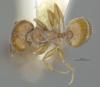 Media of type image, MCZ:Ent:30036 Identified as Pheidole rugulosa type status Paratype of Pheidole rugulosa. . Aspect: habitus dorsal view