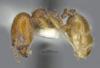 Media of type image, MCZ:Ent:30036 Identified as Pheidole rugulosa type status Paratype of Pheidole rugulosa. . Aspect: habitus lateral view