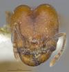 Media of type image, MCZ:Ent:30036 Identified as Pheidole rugulosa type status Paratype of Pheidole rugulosa. . Aspect: head frontal view