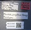 Media of type image, MCZ:Ent:30036 Identified as Pheidole rugulosa type status Paratype of Pheidole rugulosa. . Aspect: labels