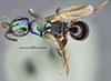 http://mczbase.mcz.harvard.edu/specimen_images/entomology/large/MCZ-ENT00030091_Anisepyris_excisus_had.jpg