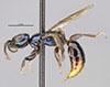 http://mczbase.mcz.harvard.edu/specimen_images/entomology/large/MCZ-ENT00030091_Anisepyris_excisus_hal.jpg