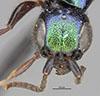 http://mczbase.mcz.harvard.edu/specimen_images/entomology/large/MCZ-ENT00030091_Anisepyris_excisus_hef.jpg