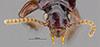 http://mczbase.mcz.harvard.edu/specimen_images/entomology/large/MCZ-ENT00030162_Clivina_tripuncta_hef.jpg