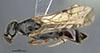 http://mczbase.mcz.harvard.edu/specimen_images/entomology/large/MCZ-ENT00030265_Pseudisobrachium_blomi_had.jpg
