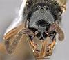 http://mczbase.mcz.harvard.edu/specimen_images/entomology/large/MCZ-ENT00030265_Pseudisobrachium_blomi_hef.jpg