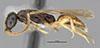 http://mczbase.mcz.harvard.edu/specimen_images/entomology/large/MCZ-ENT00030266_Pseudisobrachium_perpunctatum_hal.jpg