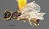 http://mczbase.mcz.harvard.edu/specimen_images/entomology/large/MCZ-ENT00030272_Pseudisobrachium_matthewsi_had.jpg