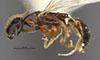 http://mczbase.mcz.harvard.edu/specimen_images/entomology/large/MCZ-ENT00030272_Pseudisobrachium_matthewsi_hal.jpg