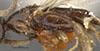 http://mczbase.mcz.harvard.edu/specimen_images/entomology/large/MCZ-ENT00030272_Pseudisobrachium_matthewsi_thl.jpg