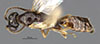 Media of type image, MCZ:Ent:30273 Identified as Pseudisobrachium nigriculum type status Holotype of Pseudisobrachium nigriculum. . Aspect: habitus lateral view