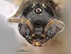 http://mczbase.mcz.harvard.edu/specimen_images/entomology/large/MCZ-ENT00030273_Pseudisobrachium_nigriculum_hef.jpg