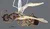 http://mczbase.mcz.harvard.edu/specimen_images/entomology/large/MCZ-ENT00030274_Pseudisobrachium_brunneum_had.jpg