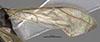 http://mczbase.mcz.harvard.edu/specimen_images/entomology/large/MCZ-ENT00030275_Pseudisobrachium_michoucanum_fwg.jpg